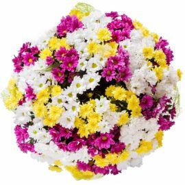 65 хризантем кустовых микс